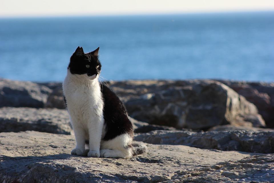 Cat, Domestic Cat, Sea