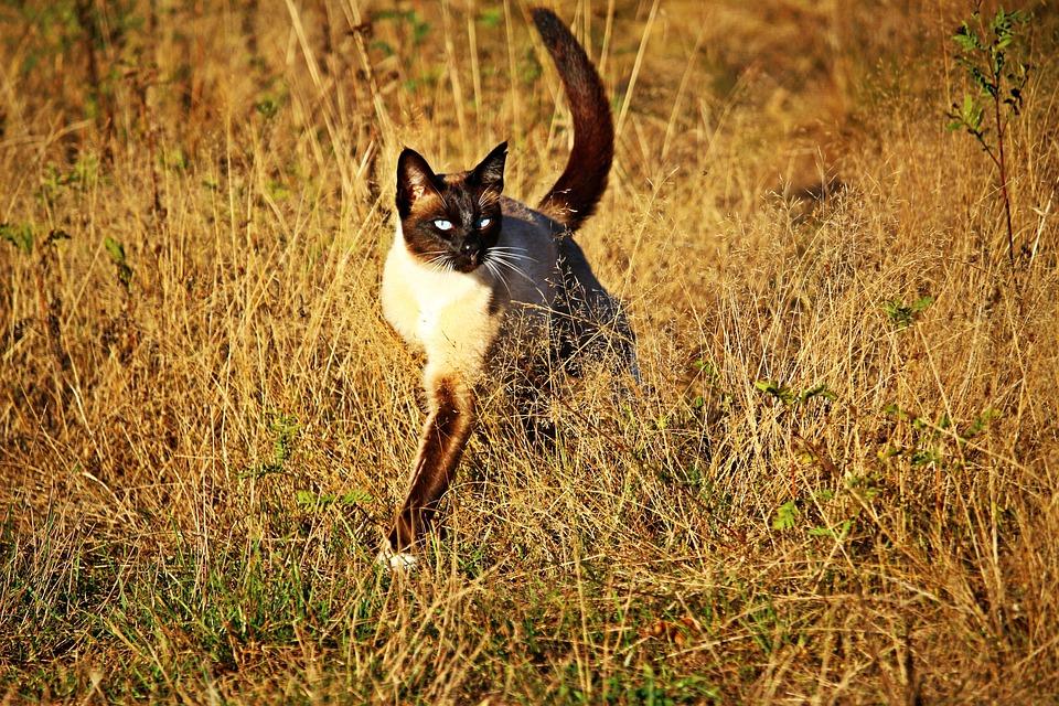 Cat, Siam, Siamese Cat, Siamese, Breed Cat, Mieze