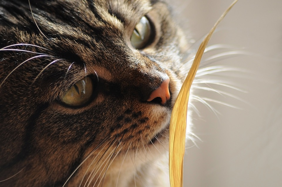 Cat, Weed, Sniff, Blade Of Grass, Striped, Watch, Macro