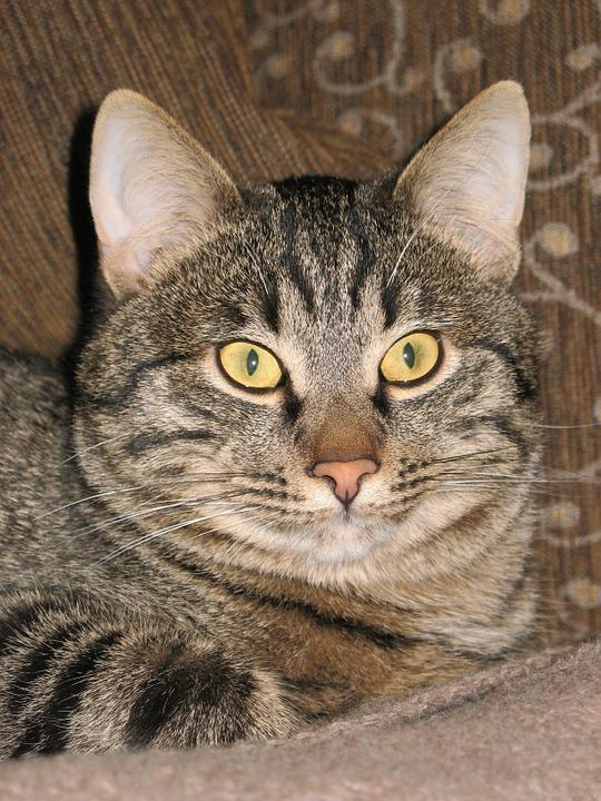 Cat, Striped, Closeup, Cat Eyes, Views, View, Pet