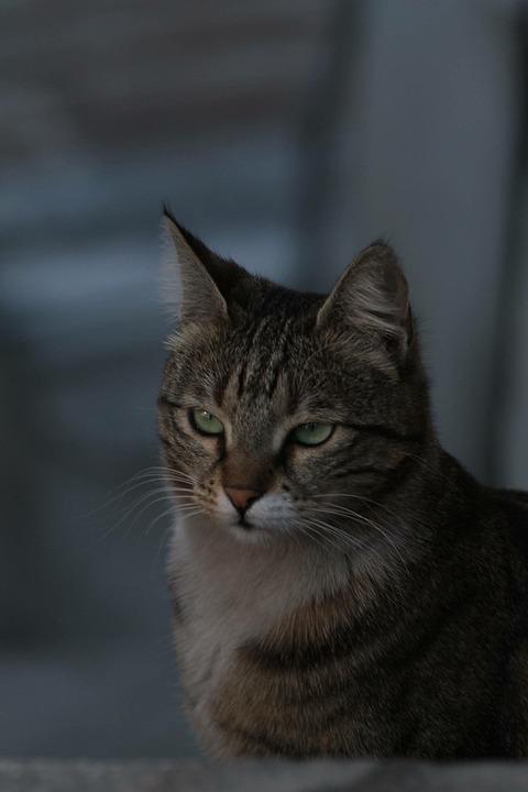 Cat, Tabby