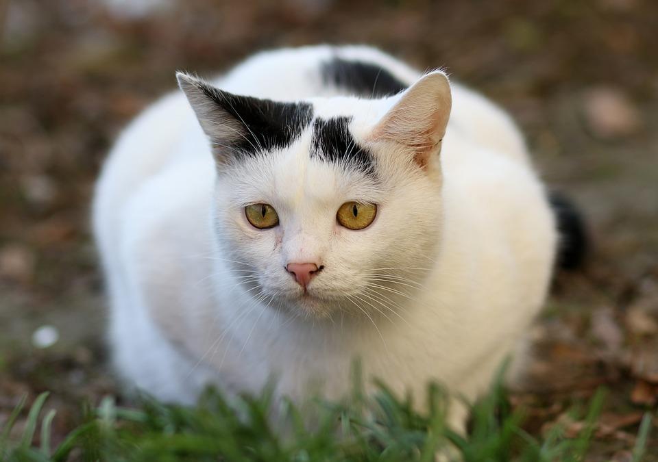 Cat, White, Black, Fur, Feline, Cute, Tamed, Funny