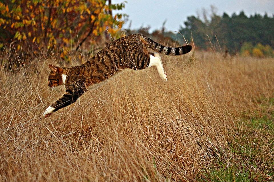 Cat, Tiger Cat, Domestic Cat, Jump, Mackerel, Grass