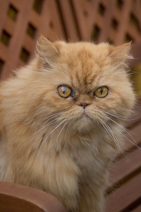 Persian, Cat, Tuinbak