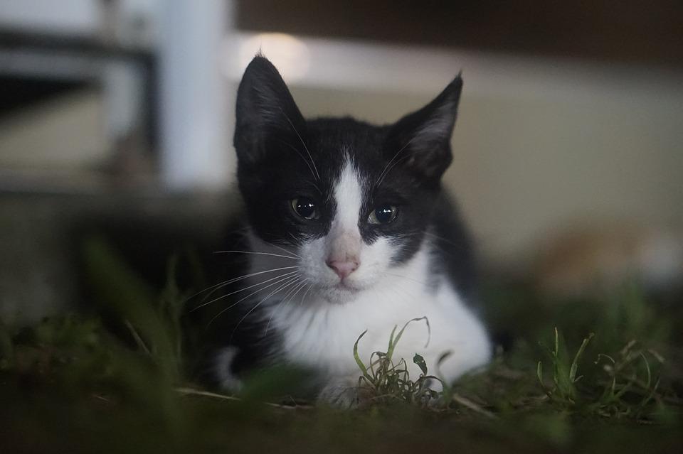 Tuxedo, Tuxedo Just, Street Cat, Cat, Campus Cat