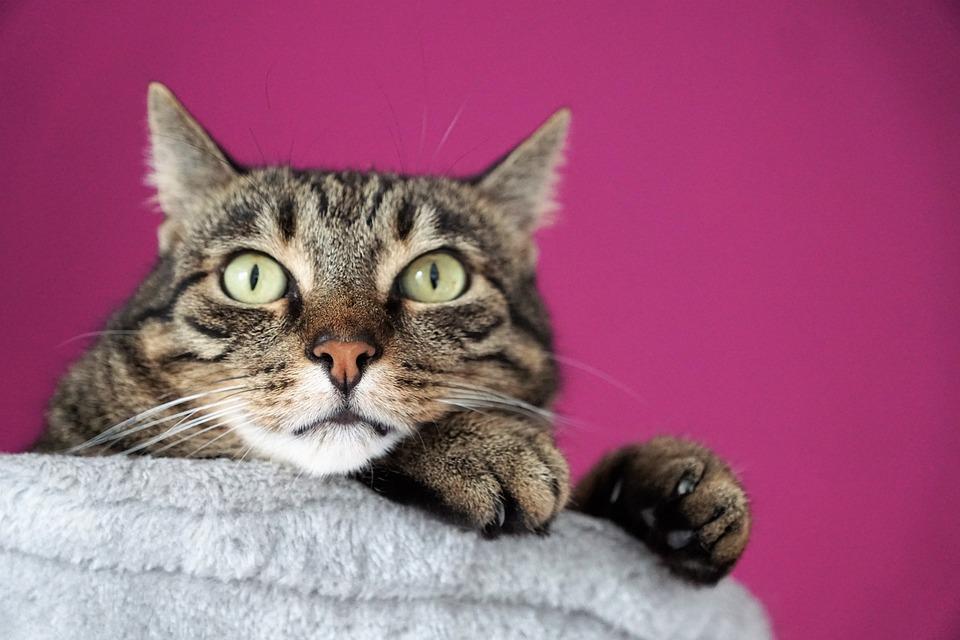 Cat, View, Eyes, Pet, Face