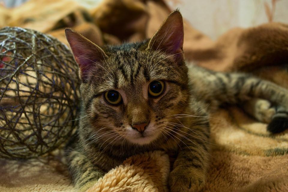 Cat, View, Striped, Closeup