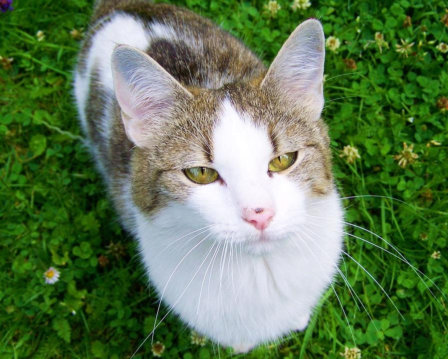 White-gray-brown Kitten, Cat, Domestic Animal