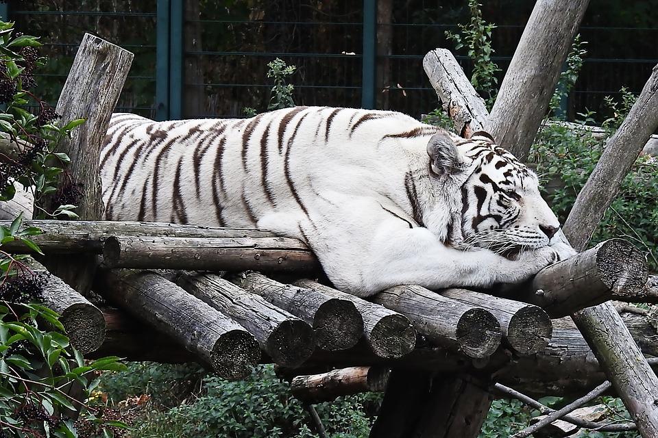 Tiger, White, White-tiger, Mammal, Cat, Big Cat