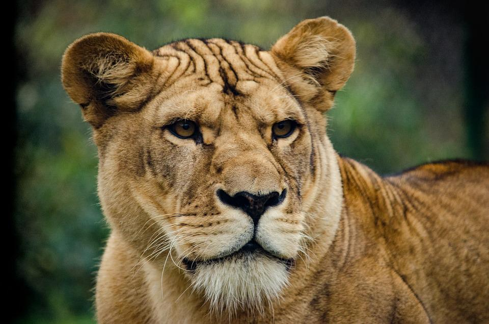 Lioness, Cat, Big Cat, Wild, Majestic, Predator, Grim