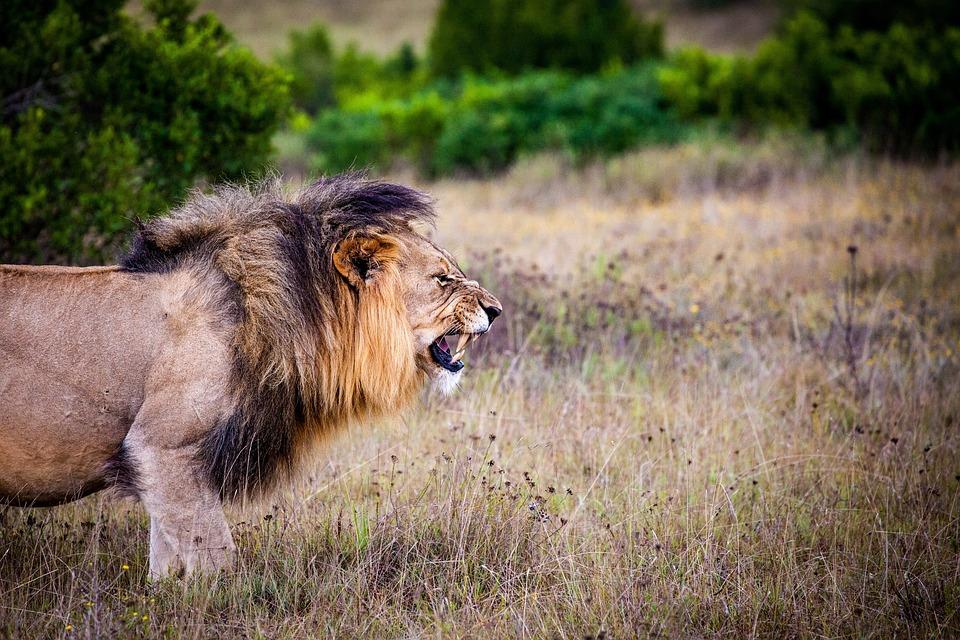 Lion, Predator, Big Cat, Cat, Wild, Africa, Safari