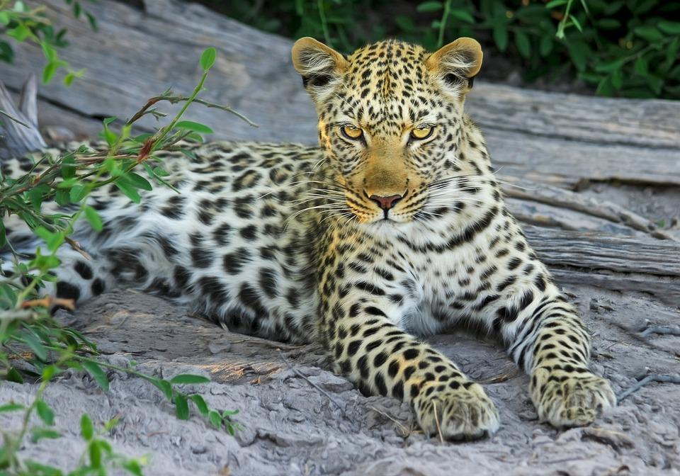Leopard, Cat, Big Cat, Wildcat, Botswana, Africa