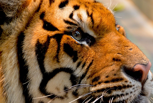 Tiger, Cat, Animal, Big, Nature, Wildlife, Carnivore