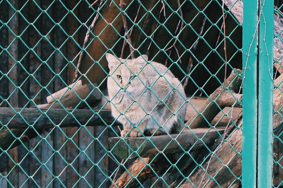 Cat, Wildcat, Wildlife, Zoo, Park, Fence, Cage