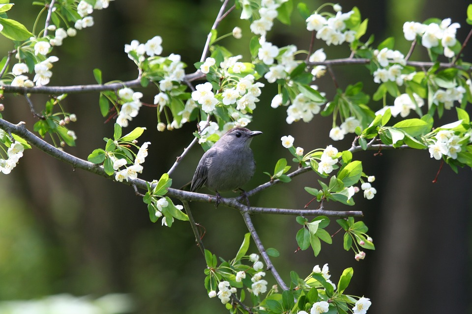 Catbird, Bird, Gray, Wildlife, Nature, Songbird