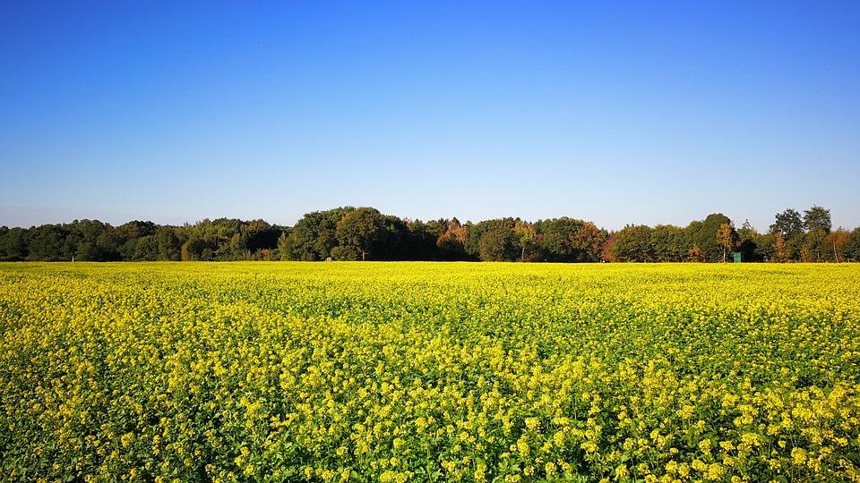 Yellow Mustard, Green Manure, Catch Crop