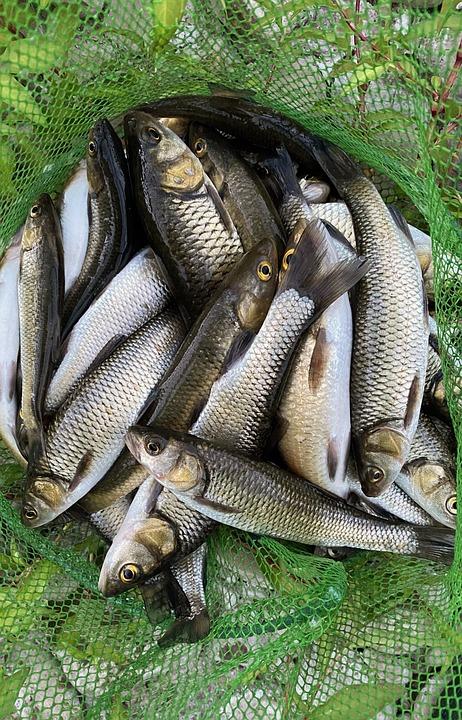 Fish, Catch, Fishing, Net, Game Fish