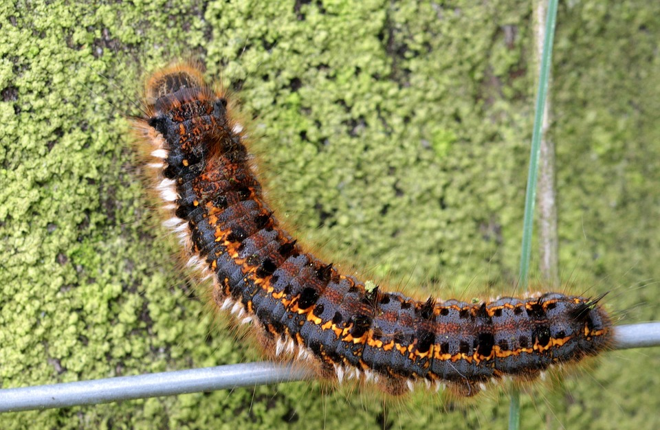Caterpillar, Butterfly Caterpillar