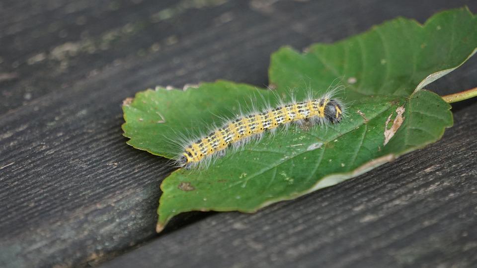 Caterpillar, Butterfly Caterpillar, Insect