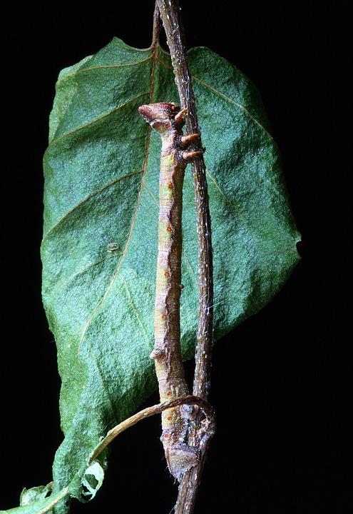 Caterpillar, Larva, Camouflage, Batesian Mimickry