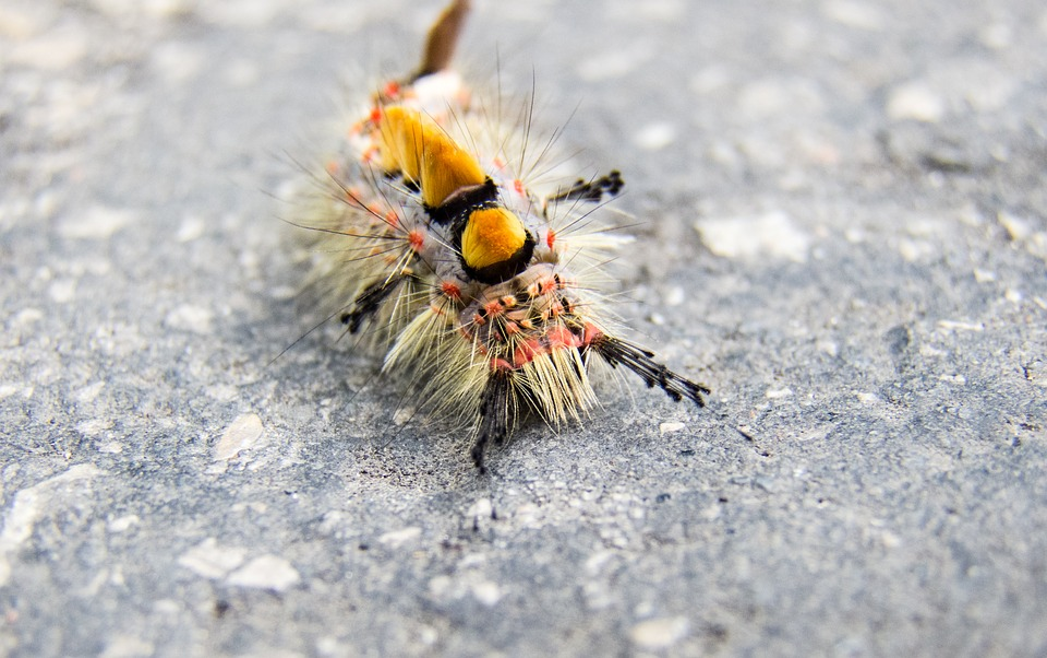 Caterpillar, Liszka, Insect, Larva, Color, Closeup
