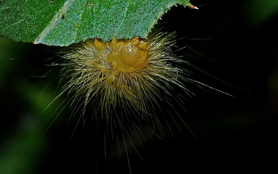 Caterpillar, Macro, Entomology, Biology, Nature, Insect