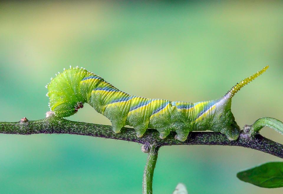 Deaths Head Hawk-moth, Caterpillar, Green, Nature