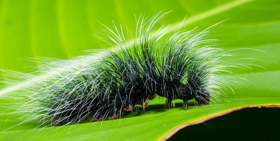 Caterpillar, Insect, Prickly, Hairy, Close