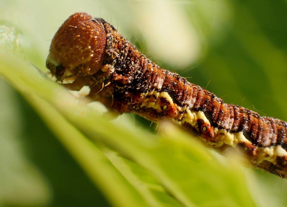 Insect, Larva, Caterpillar, Worm