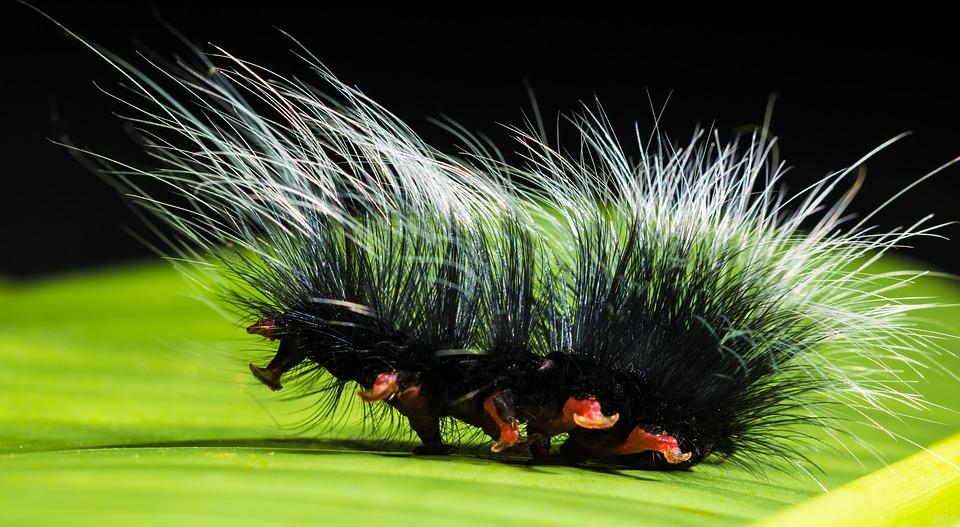 Caterpillar, Nimble Caterpillar, Insect, Prickly, Hairy