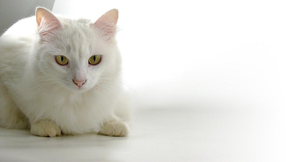 Cat, Persian, Animals, Catherine, White Skin, Pets