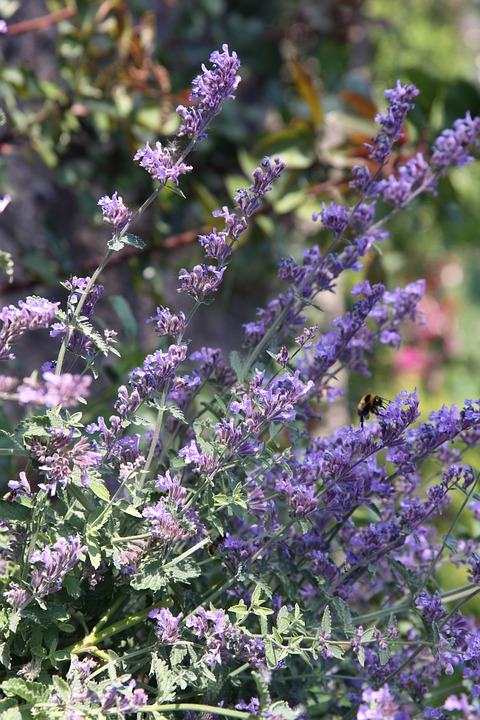 Catnip, Hummel, Flower, Blossom, Bloom, Purple