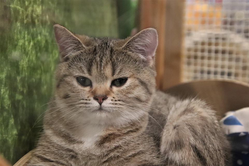 Cats, Felines, Pedigree, Contest, Cat Show, Kitten