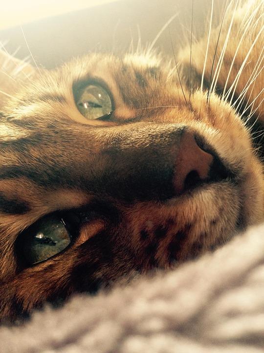 Cat, Bengal, Cat's Eye, Pet