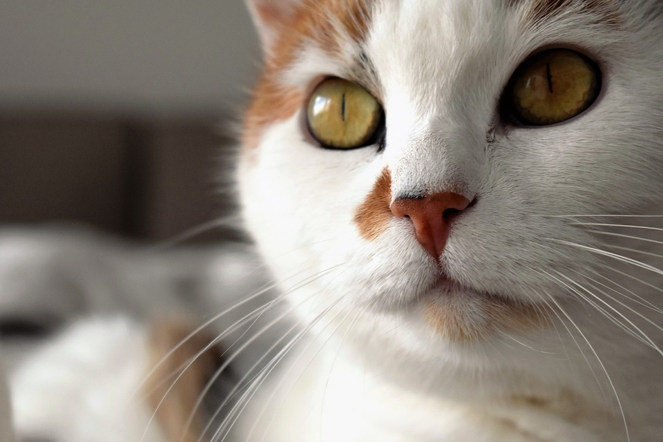 Cat, Animal, White, Spotted, Domestic Cat, Cat's Eyes