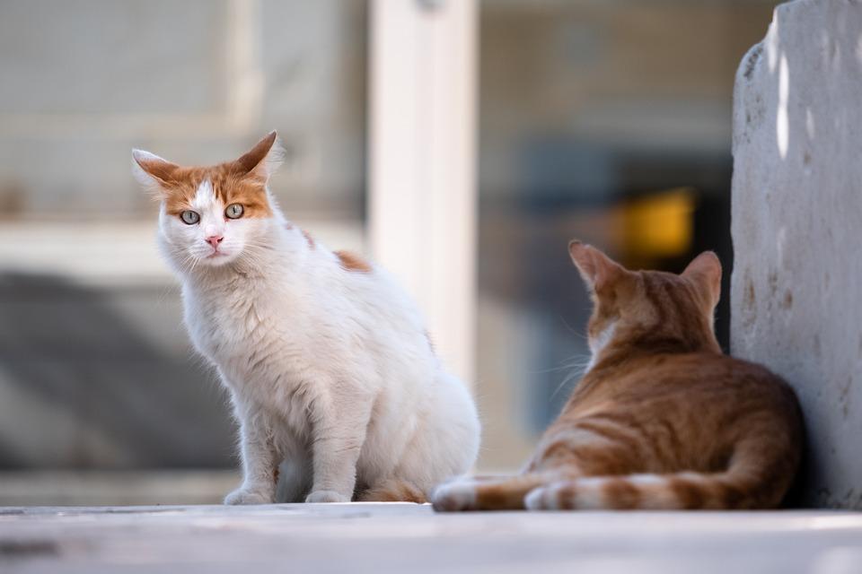 Cats, Stray Cats, Animals, Street Cats, Feral Cats