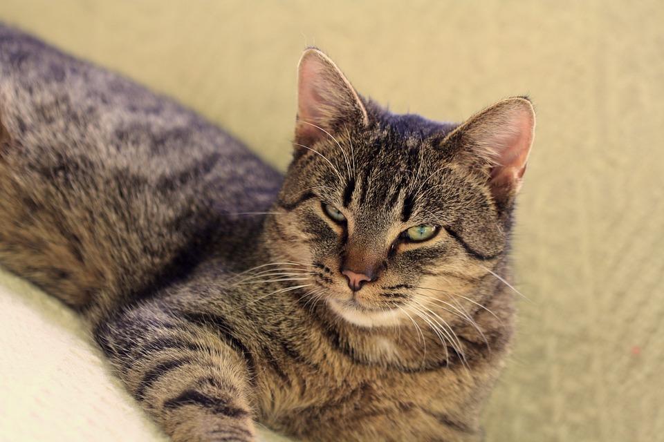 Cat, Adoption, Foundation, Animal, Animals, Cats, Pet