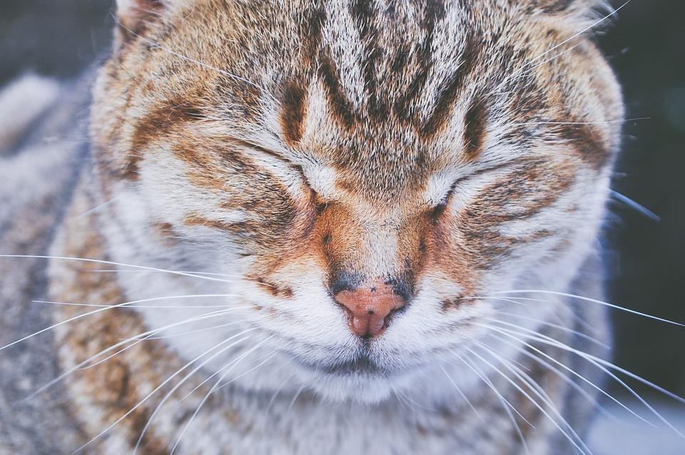 Animals, Feline, Cats, Whiskers, Snout, Fur, Cute