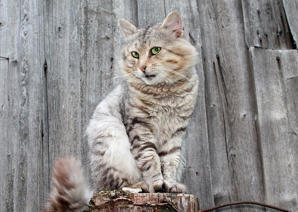Cat, Cats, Pet, Gray Cat, Fluffy Cat