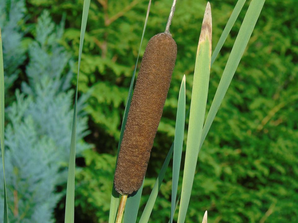 Free Photo Cattail Nature Reed Aquatic Plant Max Pixel