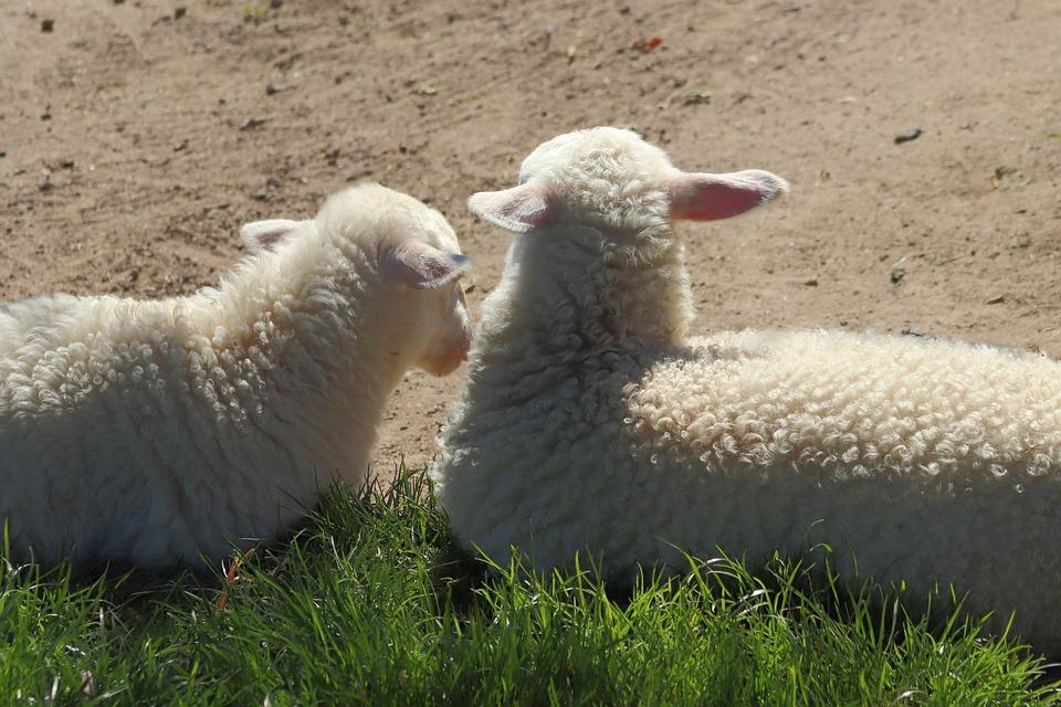 Lambs, Sheep, Animals, Pets, Wool, Cattle, Grass