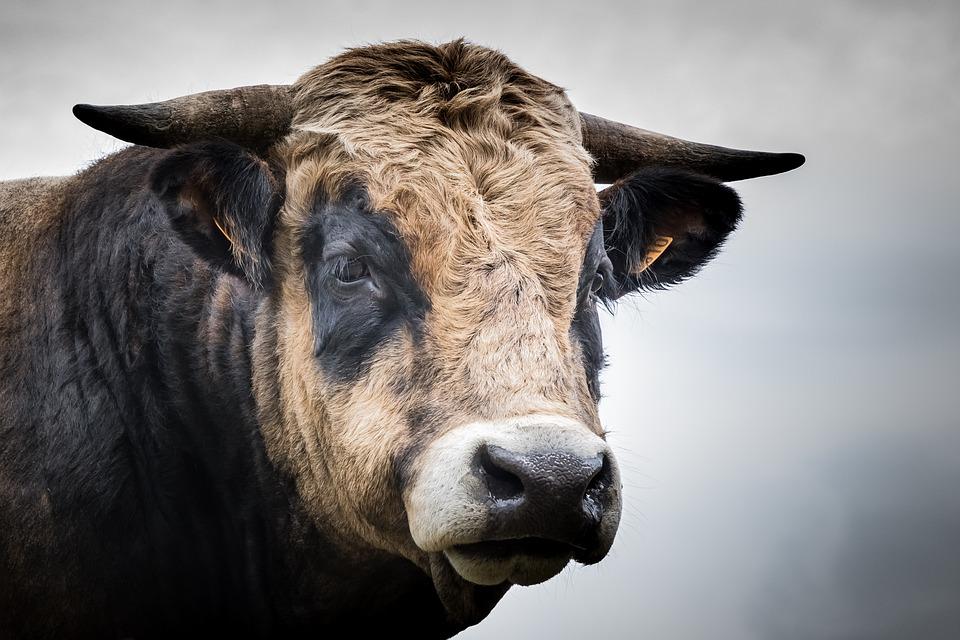 Animal, Cattle, Mammal, Livestock, Bull, Aubrac