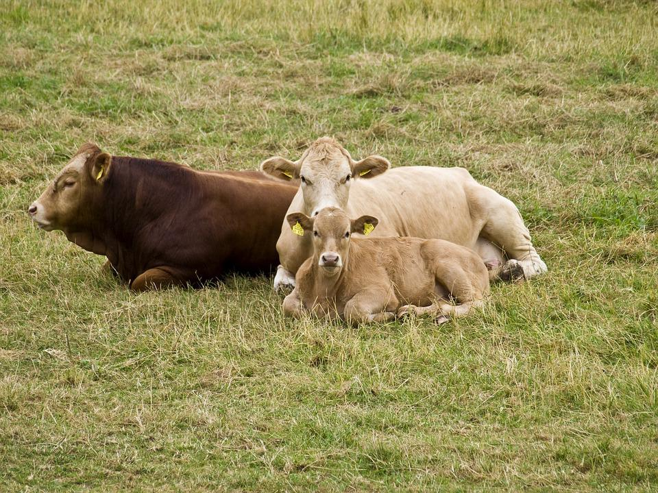 Cattle, Suckle, Protect, Cow, Calf, Beef, Agriculture