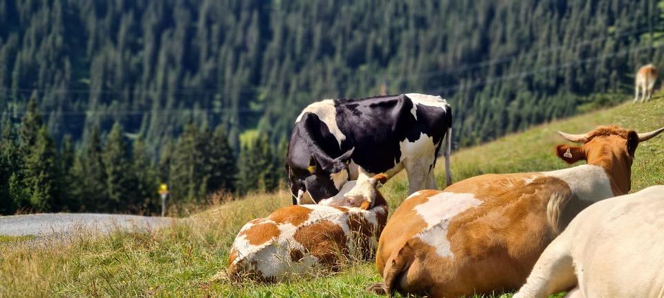 Cows, Cattle, Ruminants, Pasture, Grass, Field, Austria