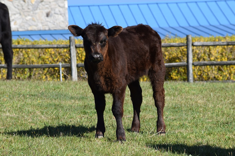 Calf, Cow, Farm, Cattle, Agriculture, Animal, Livestock