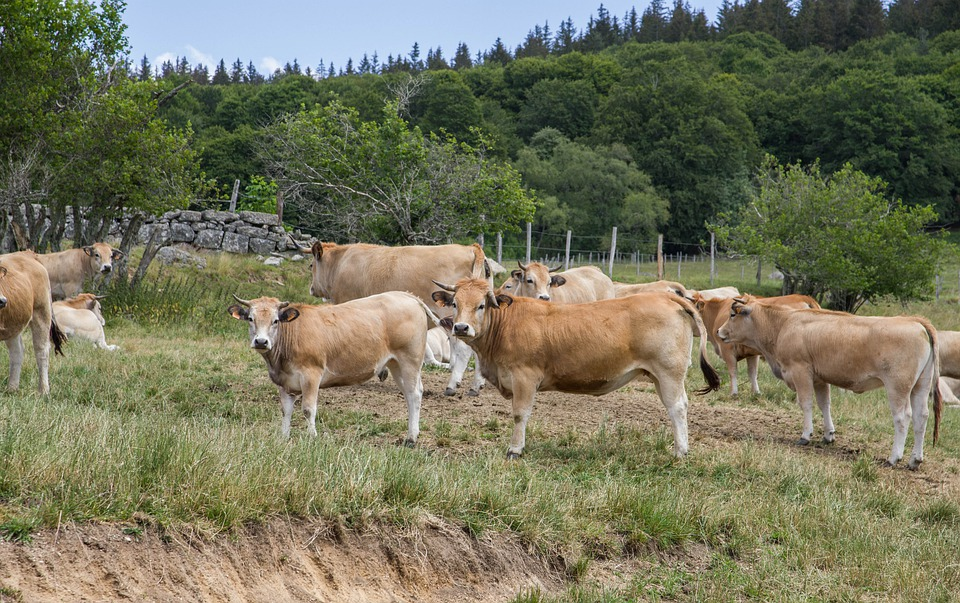 Herd, Cows, Cattle, Pasture, Livestock