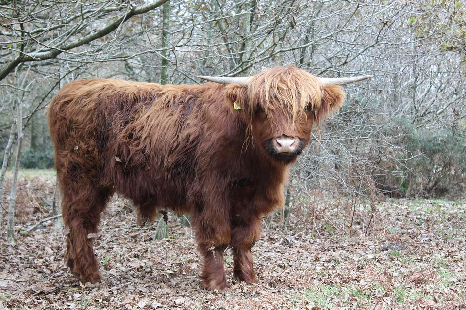 Highland Cow, Cattle, Cow