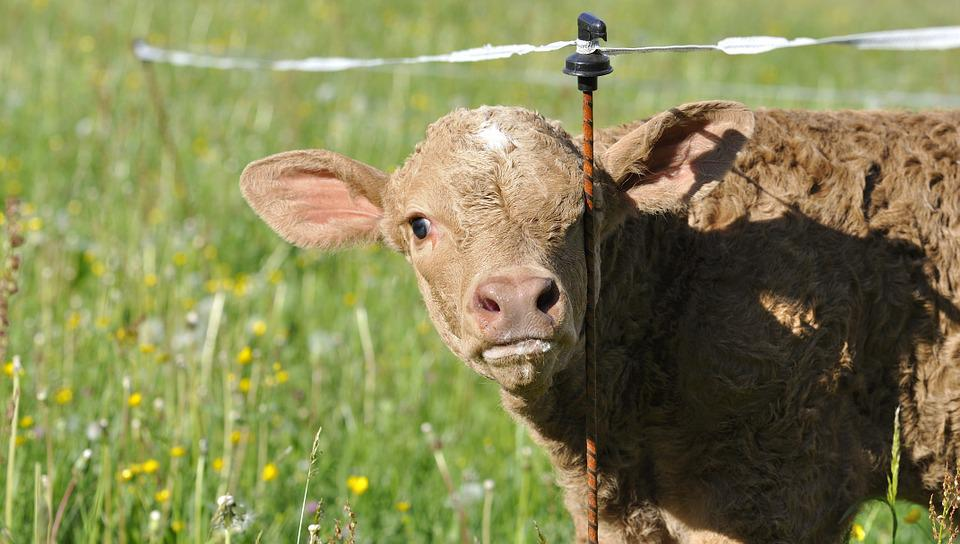Beef, Young Animal, Livestock, Cattle, Calf, Meadow