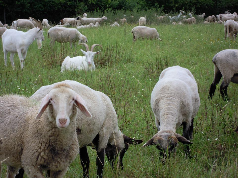 Sheep, Meadow, Animals, Pasture, Cattle, Rural