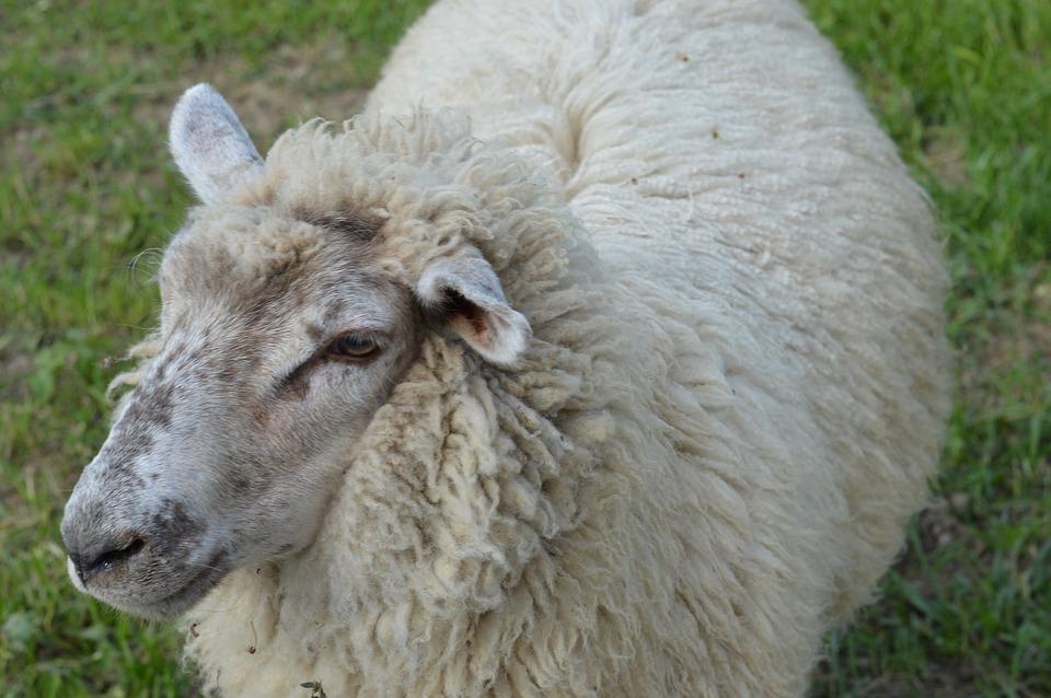Sheep, Animal, Wool, Cattle, Rural, Agriculture